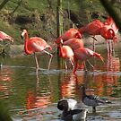 flamingo go go by carol oakes