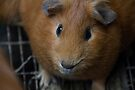 Brown cute guinea pig looking directly at camera by Kendall Anderson
