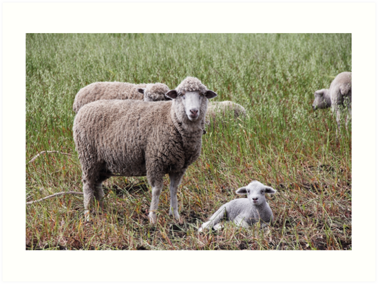Sheep with baby lamb facing camera in farm field, Ecuador by Kendall Anderson