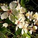 Spring blossoms by karenlynda