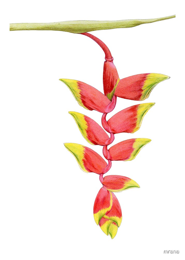 Heliconia Branch by Mariana Musa