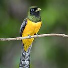 Black Throated Trogon by Rob Lavoie