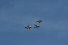 Flying Ducks by davesphotographics