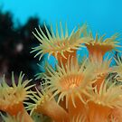 Yellow zooanthid anemones by Andrew Newton