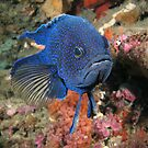 Bluedevil fish by Andrew Newton