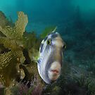 Leatherjacket fish by Andrew Newton