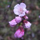 the cherry blossom by budrfli
