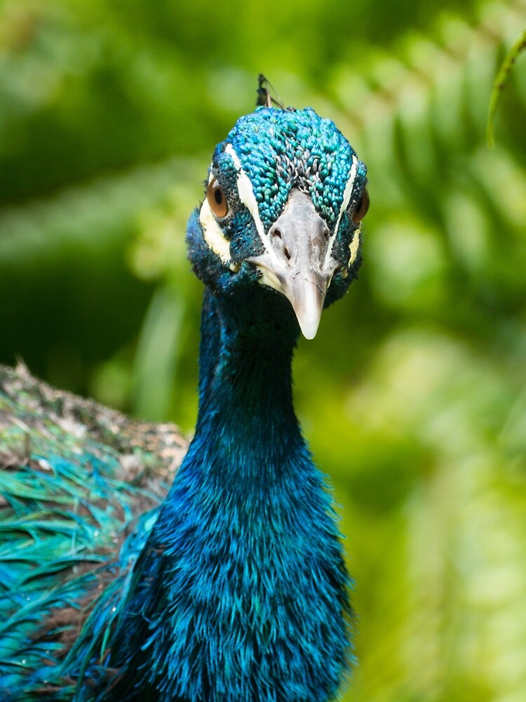 Blue Peacock.  by ConnieKerr