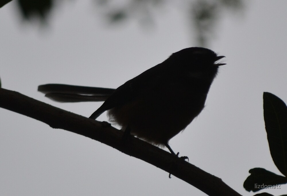Evening Fantail by lizdomett