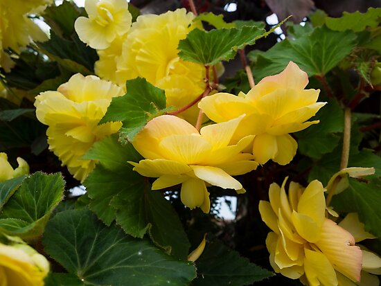 Yellow Flowers In The Botanic Gardens by Michael McGimpsey