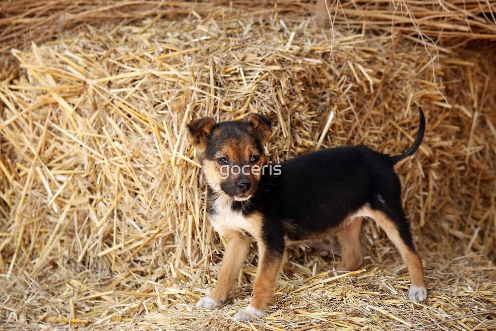 little puppy pet standing on hay by goceris