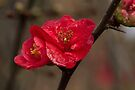 Flowering Quince by Elaine Teague