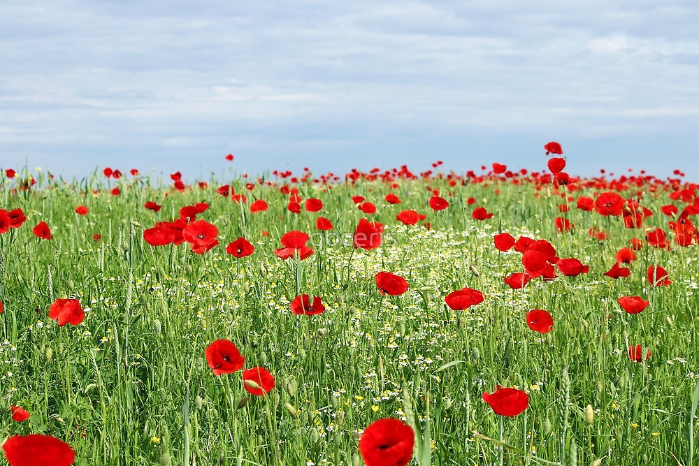 green field red poppy flowers and blue sky  by goceris