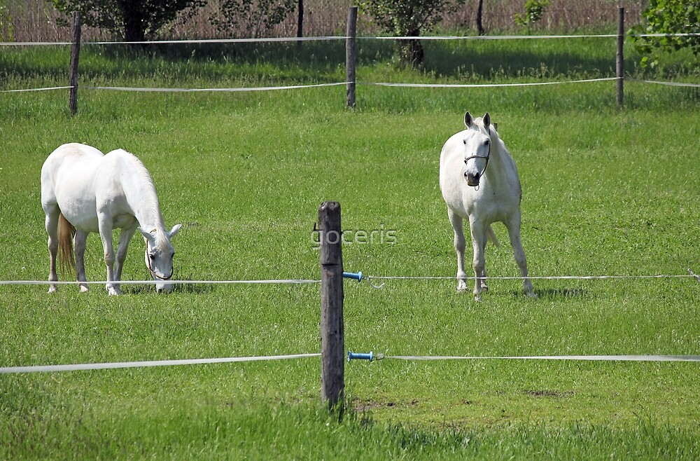 two Lipizzaner horse on field by goceris