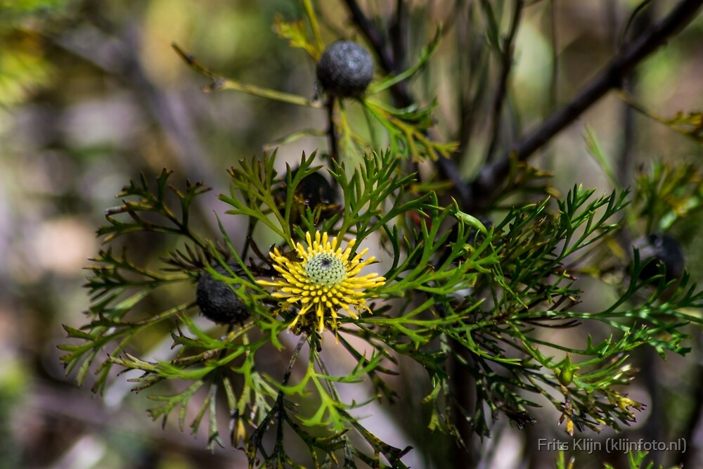 Australian plantlife 1 by Frits Klijn (klijnfoto.nl)