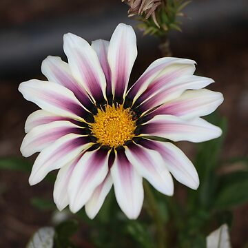 Dazzling Daisy White and Mauve with Yellow Centre by jangelbud