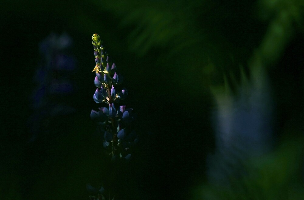 Mystery blue Lupine by Perabl