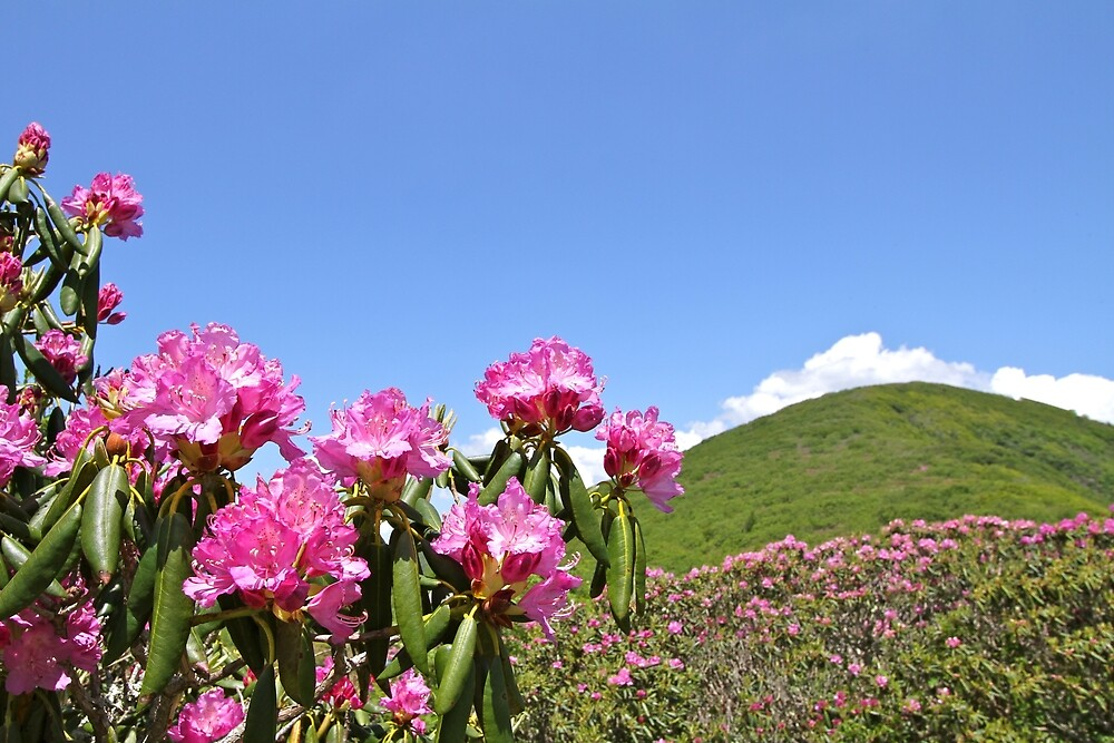 Wild Purple Rhododendron in the Mountains by Ryan McGurl