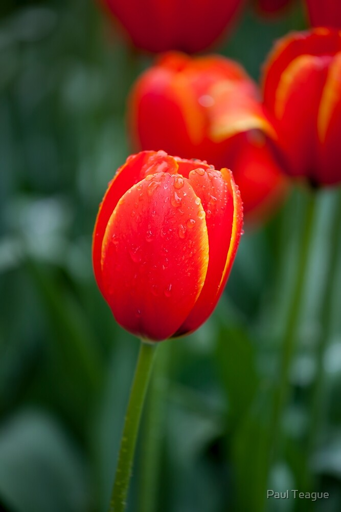 Red Tulips by Paul Teague
