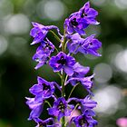 Larkspur by cuprum