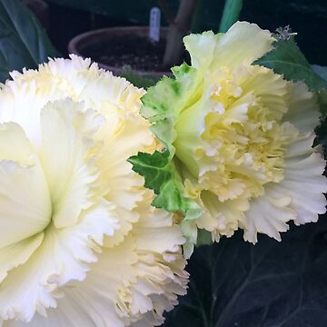 Beautiful Begonia of Bathurst Pale Lemon by jangelbud