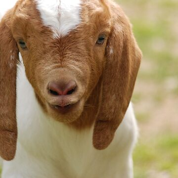 Boer goat buckling kid by LisaRent
