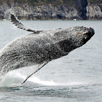 Breaching Humpback Whale by buzzword