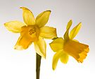 Daffodil Haiku by Nigel Bangert