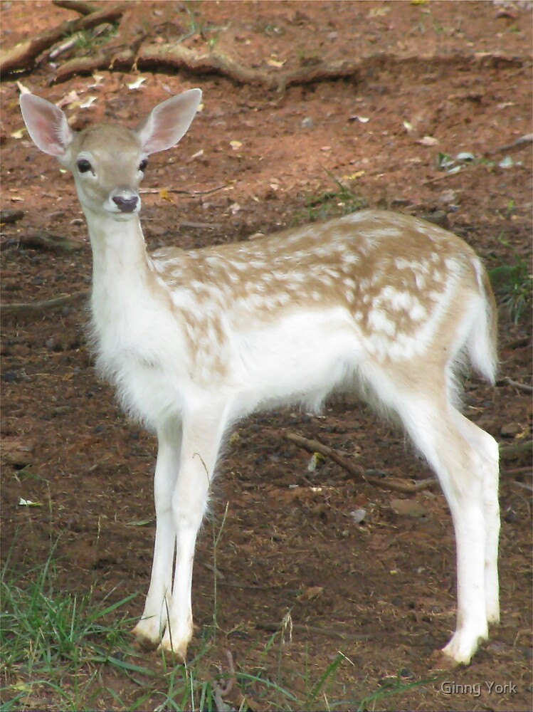Fallow Deer Fawn by Ginny York