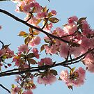 Cherry blossoms by ANNABEL   S. ALENTON
