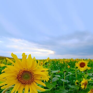 Sunflowers under a blue sky by SkyDiary