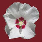 """Hibiscus Syriacus """"Red Heart"""" by Philip Mitchell"""