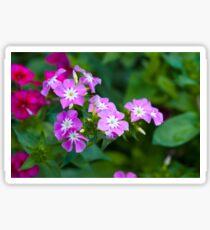 Sweet Pink Dianthus Flowers Sticker