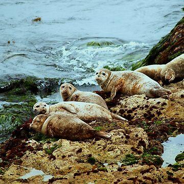 Seals in Monterey, California by DianaG