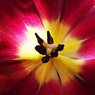 Heart of a Tulip by trish725