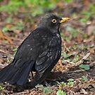 Dominant Male Blackbird by Robert Abraham