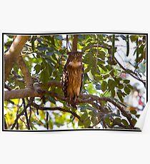 Brown fish owl at Bandhavgarh National Park Poster