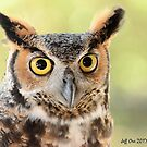 Great Horned Owl close up (Bubo,virginianus) by Jeff Ore