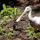 Roseate Spoonbill in Swamp (Ajaia,ajaja) by Jeff Ore