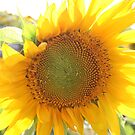 Sunflower with dew drops by Margarita K