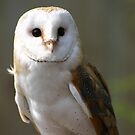 barn owl 1 by sarah hardy