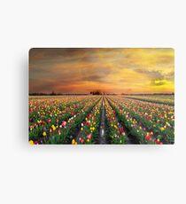 Sunset over colorful Tulip flower fields in full bloom spring season in Woodburn Oregon Metal Print