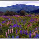 Lupine Field in the Franconia Range by Wayne King