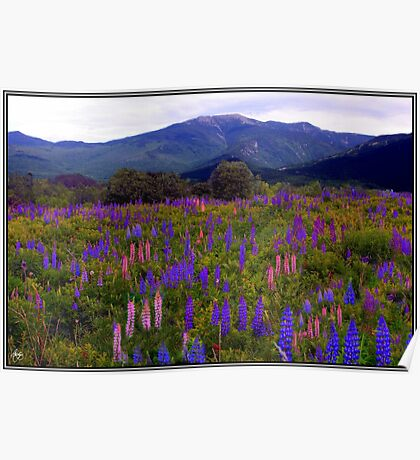 Lupine Field in the Franconia Range Poster