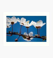 Prunus Cerasifera Art Print