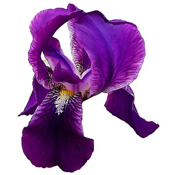 photographic illustration  of flower Iris.   by lisenok