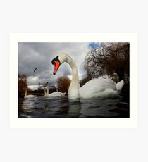 Swans a Swimming  Art Print