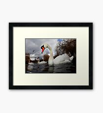 Swans a Swimming  Framed Print