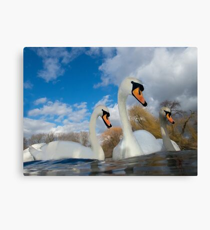 Three Swans Canvas Print
