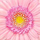 Rosa Gerbera-Blumen-Makro von MMPhotographyUK